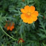 きばなこすもす(黄花秋桜)Cosmos sulphureus (3)
