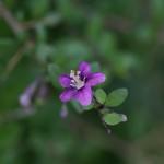 くこ(枸杞)Lycium chinense (5)