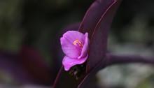 むらさきごてん (紫御殿)Tradescantia pallida 'Purpurea' (2)