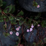 ひめつるそば(姫蔓蕎麦)Persicaria capitata