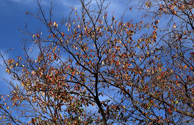 984.そめいよしの(染井吉野)Cerasus × yedoensis (3)