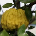 ししゆず 獅子柚子)Citrus pseudogulgul (3)