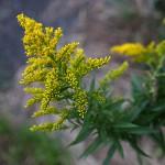 せいたかあわだちそう 背高泡立草) Solidago canadensis var. scabra (4)