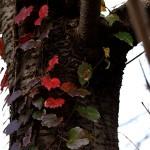 984.ツタ(蔦)Parthenocissus tricuspidata (3)