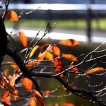 984.そめいよしの(染井吉野)Cerasus × yedoensis (1)