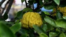 ししゆず 獅子柚子)Citrus pseudogulgul (1)