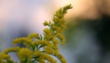 せいたかあわだちそう 背高泡立草) Solidago canadensis var. scabra