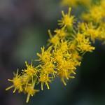 せいたかあわだちそう 背高泡立草) Solidago canadensis var. scabra (2)