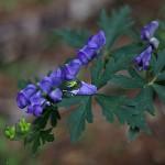 やまとりかぶと(山鳥兜)Aconitum japonicum