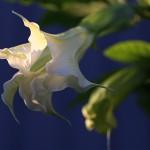 きだちちょうせんあさがお(木立朝鮮朝顔)Brugmansia (5)