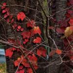 984.ツタ(蔦)Parthenocissus tricuspidata (4)