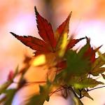 984.かえで(楓)Acer palmatum (3)