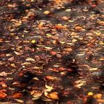 984.そめいよしの(染井吉野)Cerasus × yedoensis (4)
