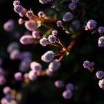 ひめつるそば(姫蔓蕎麦)Persicaria capitata (2)
