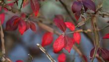 にしきぎ(錦木)Euonymus alatus (1)