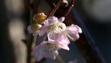 985.じゅうがつざくら十月桜)Prunus × subhirtella cv.Autumnalis