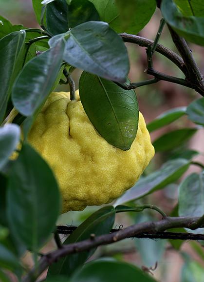 ししゆず 獅子柚子)Citrus pseudogulgul (4)