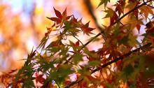 984.かえで(楓)Acer palmatum (2)