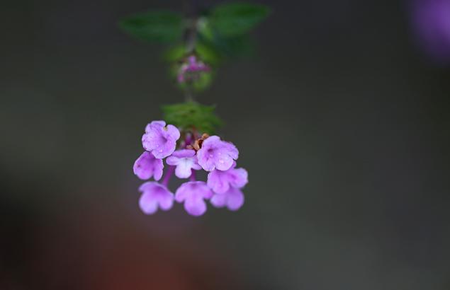 小葉のランタナLantana montevidensis (2)