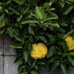ししゆず 獅子柚子)Citrus pseudogulgul