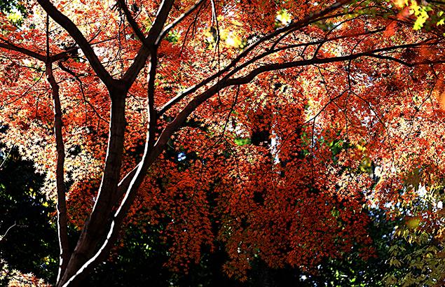 984.かえで(楓)Acer palmatum