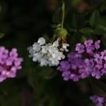 小葉のランタナLantana montevidensis (1)