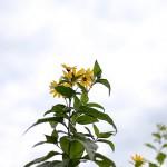 きくいももどき(菊芋擬)Heliopsis helianthoides (3)