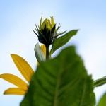 きくいももどき(菊芋擬)Heliopsis helianthoides