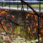 984.そめいよしの(染井吉野)Cerasus × yedoensis
