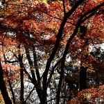 984.かえで(楓)Acer palmatum (1)