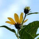 きくいももどき(菊芋擬)Heliopsis helianthoides (1)
