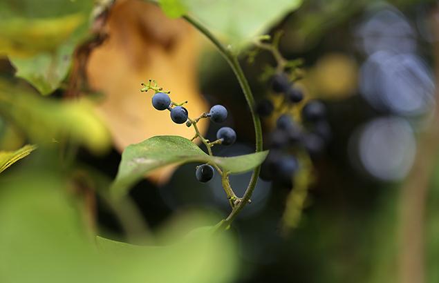 のぶどう(野葡萄)Ampelopsis glandulosa var. heterophylla (9)
