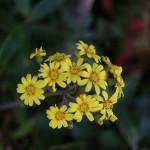 つわぶき(石蕗、艶蕗) Farfugium japonicum (1)
