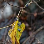 のぶどう(野葡萄)Ampelopsis glandulosa var. heterophylla (7)