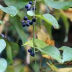 のぶどう(野葡萄)Ampelopsis glandulosa var. heterophylla (5)
