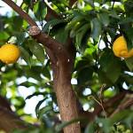 1021.ゆずのき(柚子の木)Citrus junos