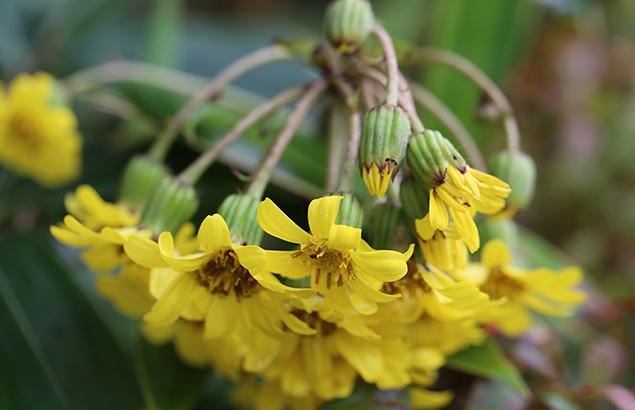 つわぶき(石蕗、艶蕗) Farfugium japonicum (3)