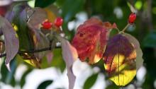 はなみずき (花水木)Cornus florida