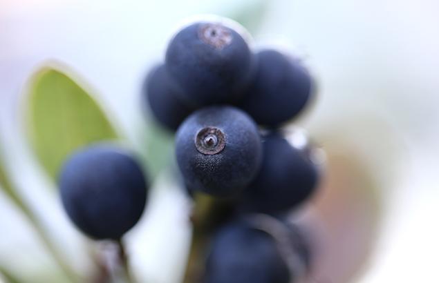 しゃりんばい (車輪梅)しゃりんばいRhaphiolepis umbellata (5)