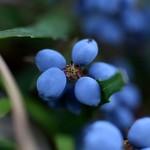 ひいらぎなんてん(柊南天)Berberis japonica (4)