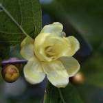 1022.ろうばい(蝋梅)Chimonanthus praecox (1)