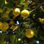 1021.ゆずのき(柚子の木)Citrus junos (3)