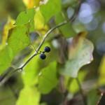 のぶどう(野葡萄)Ampelopsis glandulosa var. heterophylla (3)