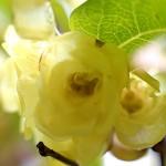 1022.ろうばい(蝋梅)Chimonanthus praecox (4)