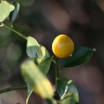 1020.きんかん(金柑)Fortunella japonica (4)