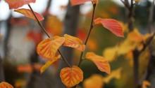 1019.冬のときわまんさく(常磐満作)Loropetalum chinense