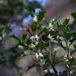 ひいらぎ(柊・疼木・柊木)Osmanthus heterophyllus (1)