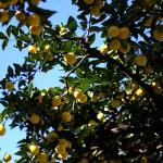 1021.ゆずのき(柚子の木)Citrus junos (4)