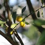1020.きんかん(金柑)Fortunella japonica