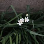 すいせん(水仙)Paper White Narcissus